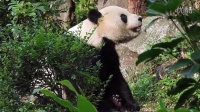 2014-04-08 帥團團覓食用餐 The Giant Panda Tuan-Tuan (1080p)