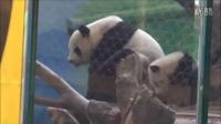 20140405圓仔Giant  Panda  Yuanzai 要呵ㄋㄟㄋㄟ