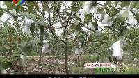 魅力高州-鉴江行  珍珠番石榴(114)期