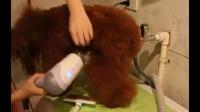 艾丰演绎:如何在洗澡后给贵宾犬拉直腿毛和头发毛