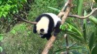 20140405下午四點後的活力圓仔Giant Panda Yuanzai