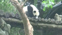 201404141123彪哥送玩俱食物給圓仔全記錄Giant panda Yuanzai