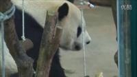 20140418120帥團團與窩窩頭上午篇The Giant Panda Tuan Tuan