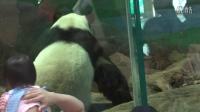 201404181227帥團團上架囉The Giant Panda Tuan Tuan