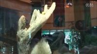 2014041809帥團團超近拍The Giant Panda Tuan Tuan