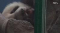 201404181346圓仔撓癢癢Giant panda Yuanzai