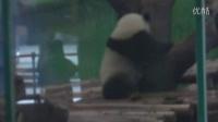 201404181358我親愛ㄉ圓仔您居然..Giant panda Yuanzai