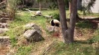 National Zoo Bao Bao Panda 2