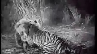 早期黑白森林狮虎斗2 狮子打跑老虎