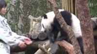 201404251719台北下午收貓約13分不間斷Giant panda Yuanzai