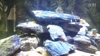 三湖鱼、红格燕尾、剑鲨、黑喷虎、黄喷虎、六间等混养视频