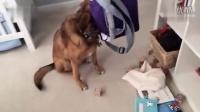 【猴子派】 二货小狗偷翻餐包 头卡袋子被抓包定身装无辜