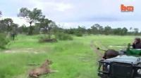 【牛人】Barcroft TV 2014:【环球趣闻】:狮子VS水牛 狮子偷袭水牛未遂 116