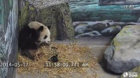 Toronto Zoo Giant Panda Cuteness Combat - Er Shun Plays With