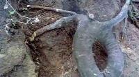 新发现义马市北坻坞石磨沟一根雕《蛇》拍卖价1000元QQ1316107661
