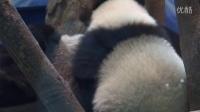 201405201601圓仔喝ㄋㄟㄋㄟGiant panda Yuanzai