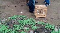 视频: 葫芦岛蜡嘴片段欣赏,蜡嘴雀群QQ212522667