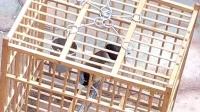 陵园,蜡嘴天然特色叫口葫芦岛,黑尾蜡嘴雀QQ群212522667