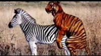 【动物世界】老虎和斑马交配