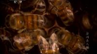 非洲杀人蜂 140608