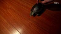 为什么我的乌龟也会跳《小苹果》