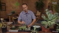 【醉花网】大型多肉植物的繁殖视频