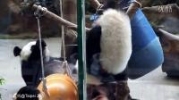 2014-06-29 圓仔打擾圓圓吃東西(The Giant Panda Yuan Yuan with