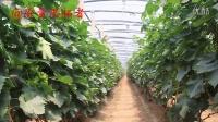 蓬莱玫瑰香葡萄2014第一季