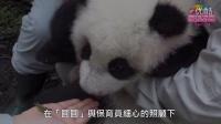 大貓熊圓仔1歲囉!Giant Panda Cub Yuan Zai's One Year Old Dia