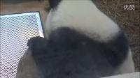 20140706圓仔生日慶威力肥再度開獎The Giant Panda Cub Yuan Zai