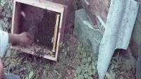 :新式中蜂养殖蜜蜂养殖技术视频