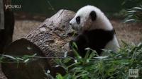 Panda Cubs First Day on Exhibit at Zoo Atlanta