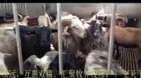 那里有卖乌骨羊的 乌骨羊哪里有卖的 乌骨羊价格