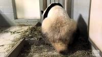 Rare Footage Of Panda Giving Birth To Twins At Zoo