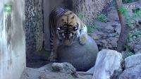 老虎和猫打架,你们不是兄弟们怎么又打起来了。萌宠搞笑视频