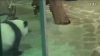 20140618-圓仔-我想跟保育員哥哥姐姐玩The Giant Panda Yuan Zai