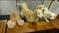 【鹌栖】具有高尚餐桌礼仪的狗狗们