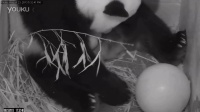 Giant Panda Mei Xiang Gives Birth at Smithsonian's National Zoo
