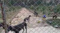 山东格力犬舍,格力犬养殖技术,格犬力养殖场,灵缇犬速度快吗格力犬价格,细狗价格