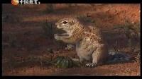 视频: 110907_卡拉哈裏的地松鼠(下)_奇趣大自然_CETV