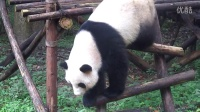 I saw the Giant Panda,我好幸运,Oh yeah