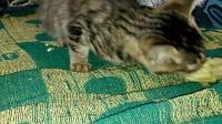 猫偷吃玉米