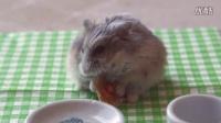 小仓鼠吃小比萨