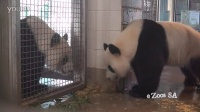 Giant Panda Mating Call Adelaide Zoo