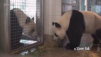 Giant Panda Mating Call Adelaide Zoo