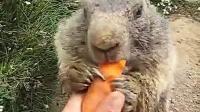 【哇哈哦哦】萌萌哒!土拨鼠吃胡萝卜嘎嘣脆