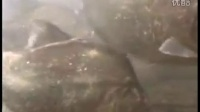 野生环境下的巨型黑色食人鱼