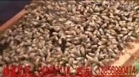 视频: 土蜂蜜批发-网店代理咨询QQ:248697118