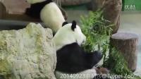 20140923-圓仔爬高高飛撲媽麻The Giant Panda Yuan Yuan with Yuan Zai
