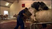 惊实录第一集暗访汉堡养牛场视频